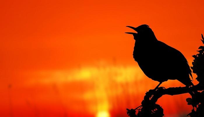 Blackbird Spirit Animal Totem Symbolism And Meaning