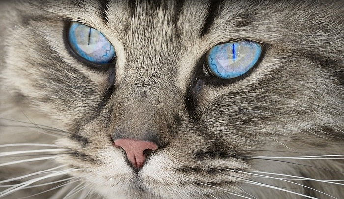 Cat Spirit Animal Totem Symbolism And Meaning