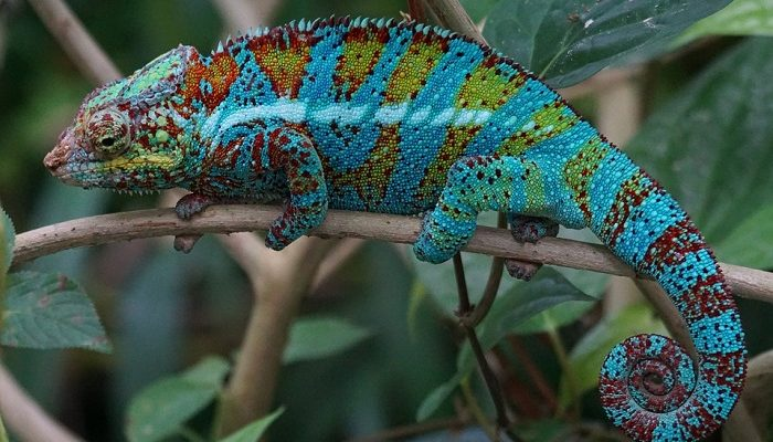 Chameleon – Spirit Animal, Totem, Symbolism and Meaning