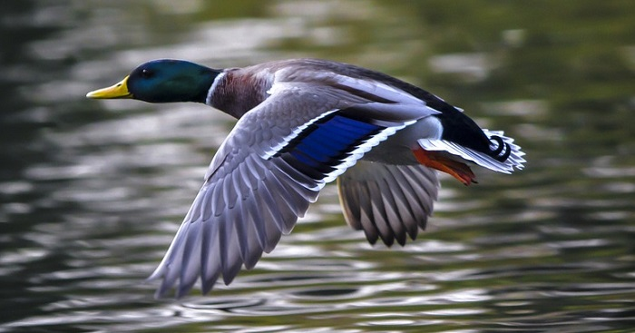Dreams About Ducks – Meaning and Interpretation