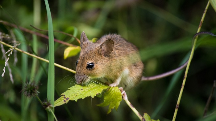 Dreams About Mice, Mouse – Meaning and Interpretation