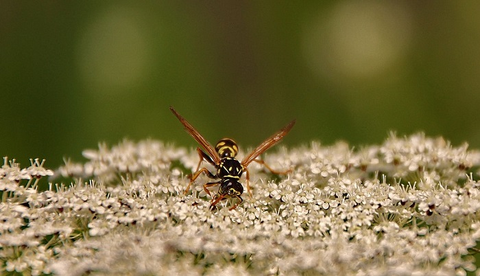 Dreams About Wasps – Meaning and Interpretation