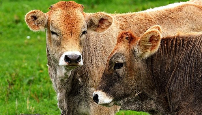 Dreams About Cows – Meaning and Interpretation