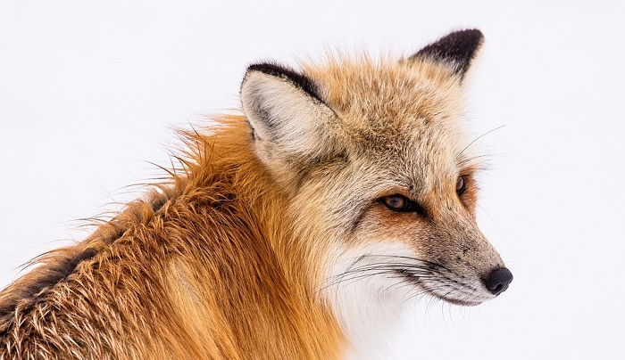 Dreams About Foxes – Meaning and Interpretation