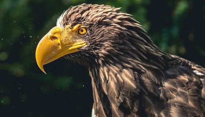 Eagle Spirit Animal Totem Symbolism And Meaning