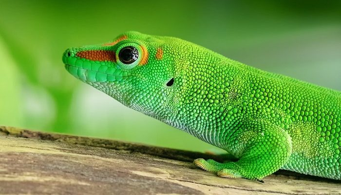 Gecko – Spirit Animal, Totem, Symbolism and Meaning