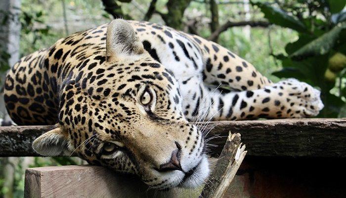 Jaguar Spirit Animal Totem Symbolism And Meaning