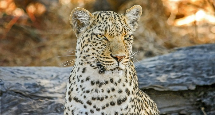 Leopard – Spirit Animal, Symbolism, Totem and Meaning