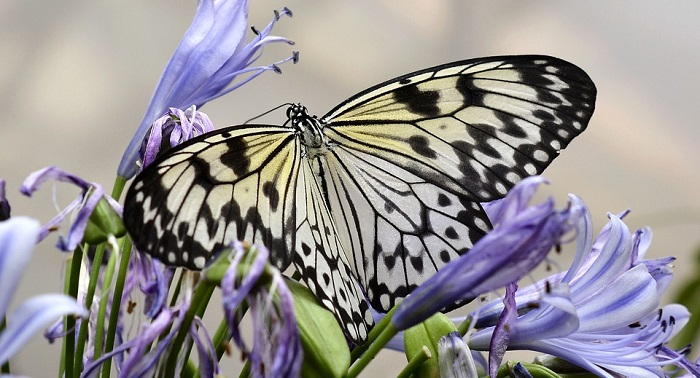 Butterfly – Spirit Animal, Symbolism, Totem and Meaning