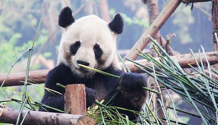 Panda Spirit Animal Totem Symbolism And Meaning