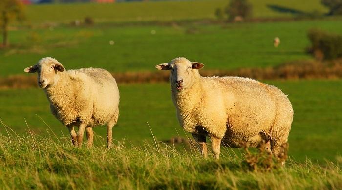 Sheep – Spirit Animal, Totem, Symbolism and Meaning
