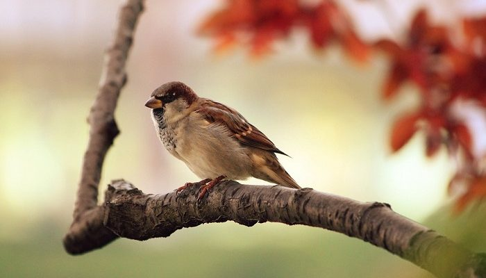 Sparrow Spirit Animal Totem Symbolism And Meaning
