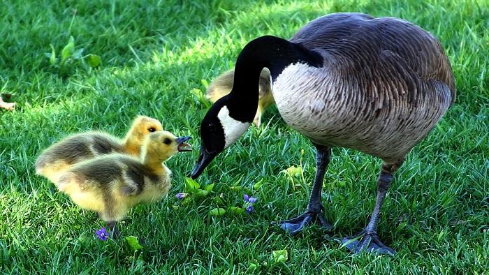 Goose – Spirit Animal, Symbolism, Totem and Meaning