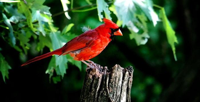 Red Bird Cardinal Spirit Animal Totem Symbolism And Meaning