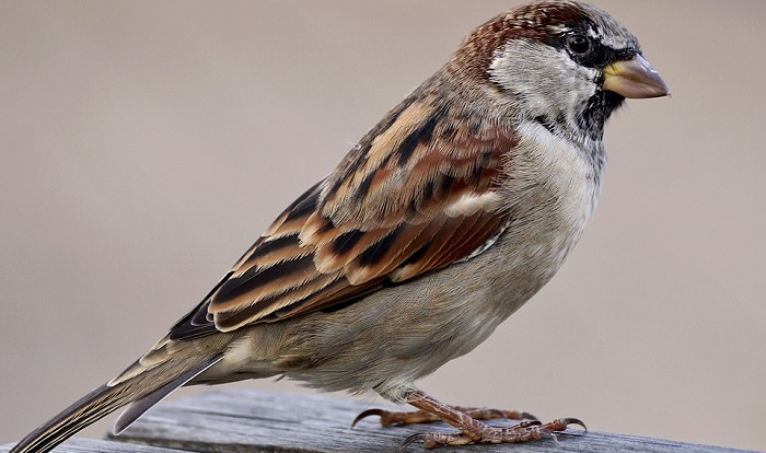 Sparrow – Spirit Animal, Totem, Symbolism and Meaning