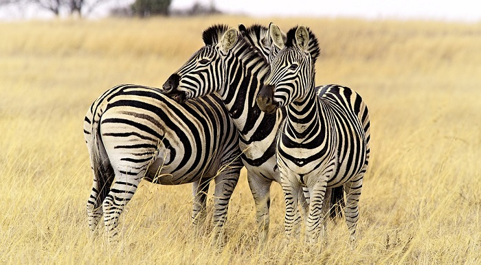 Zebra – Spirit Animal, Totem, Symbolism and Meaning