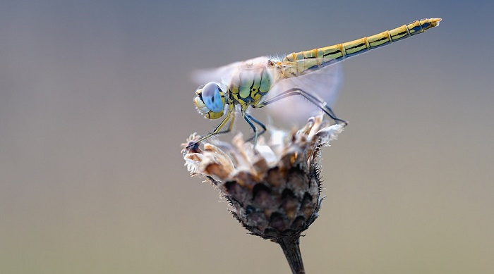 Dragonfly Spirit Animal Totem Symbolism And Meaning