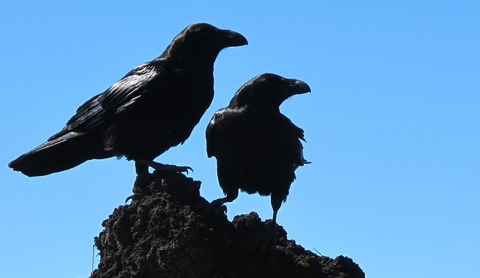 Dreams About Crows – Meaning and Interpretation