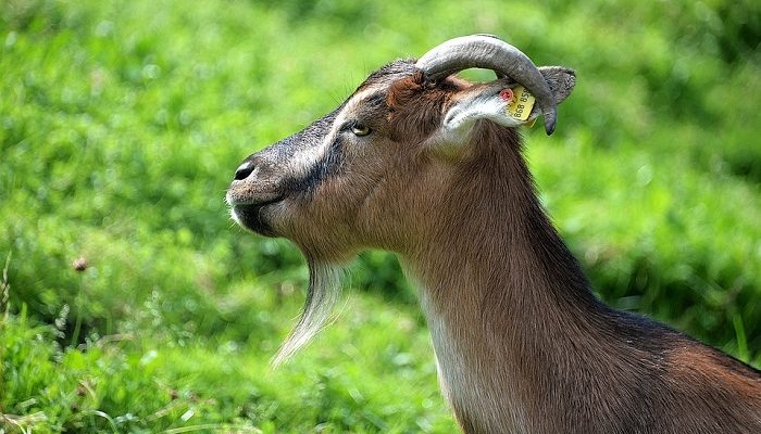 Dreams About Goats – Meaning and Interpretation