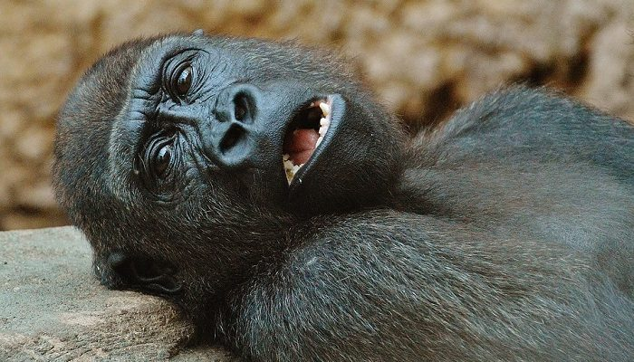 Dreams About Gorillas – Meaning and Interpretation