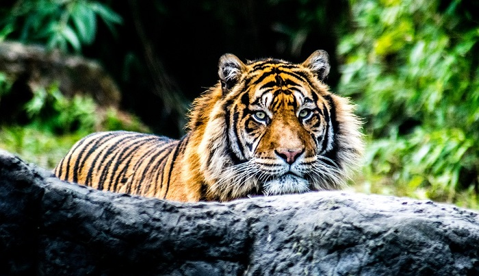 Dreams About Tigers – Meaning and Interpretation