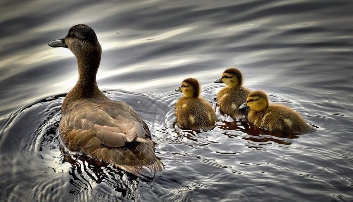Duck – Spirit Animal, Totem, Symbolism and Meaning