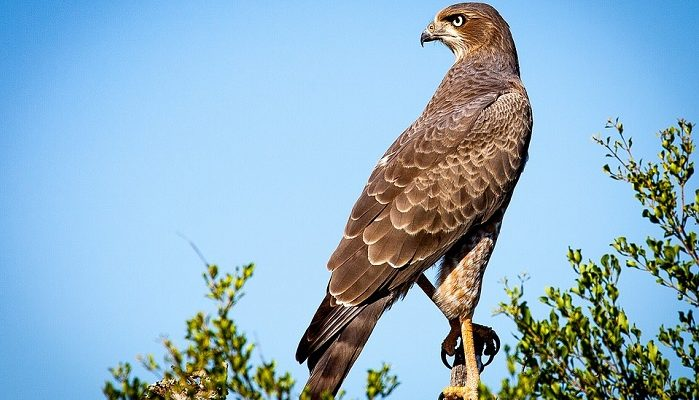 Falcon Spirit Animal Totem Symbolism And Meaning