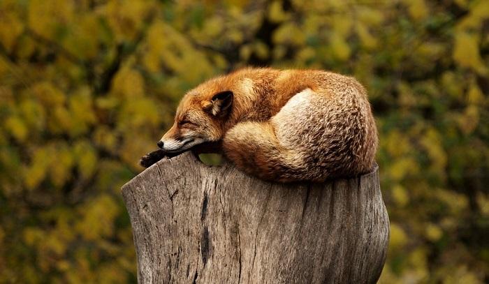 Fox – Spirit Animal, Totem, Symbolism and Meaning