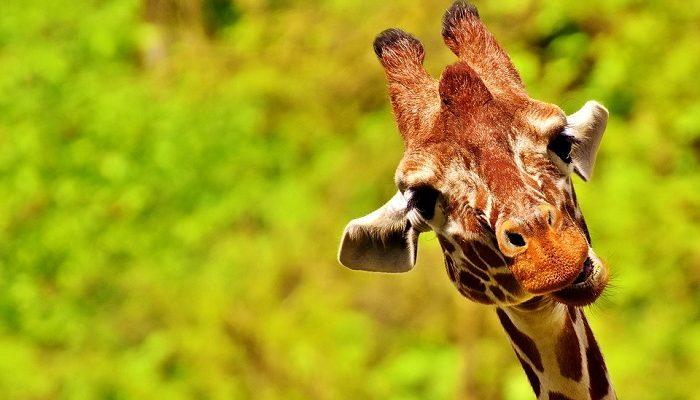Giraffe – Spirit Animal, Totem, Symbolism and Meaning