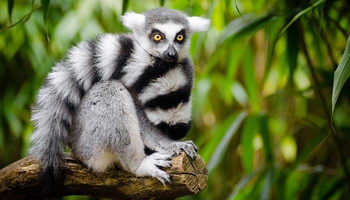 Lemur – Spirit Animal, Totem, Symbolism and Meaning
