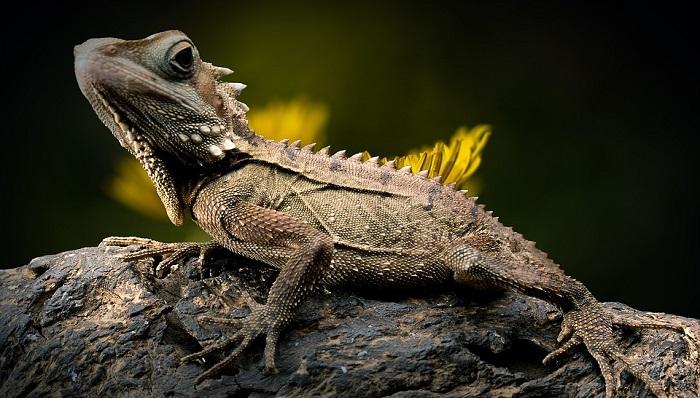 Lizard Spirit Animal Totem Symbolism And Meaning