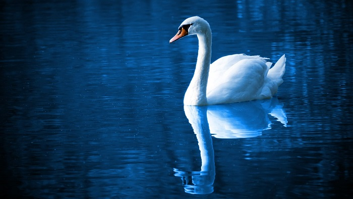 Swan Spirit Animal Totem Symbolism And Meaning