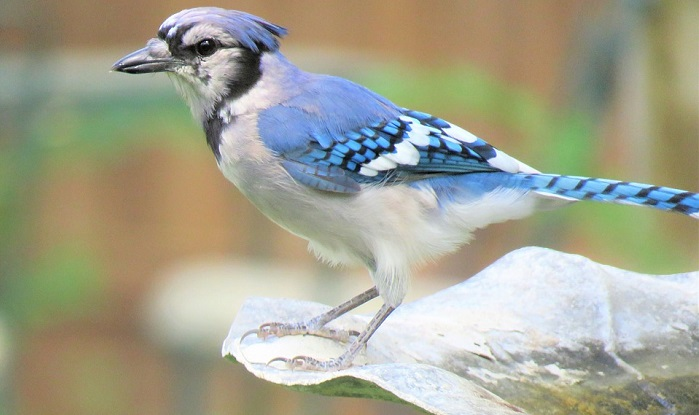 Blue Jay Spirit Animal Totem Symbolism And Meaning