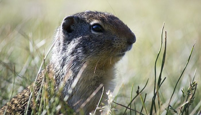 Groundhog Spirit Animal Totem Symbolism And Meaning