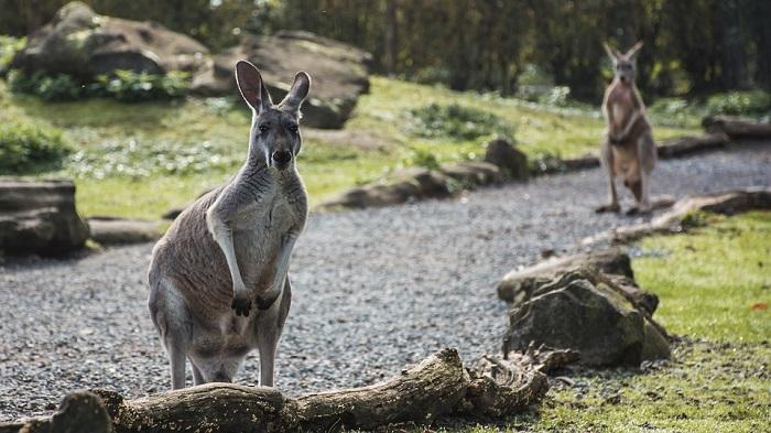 Kangaroo Spirit Animal Totem Symbolism And Meaning