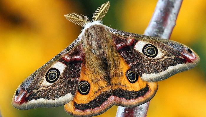 Moth – Spirit Animal, Totem, Symbolism and Meaning