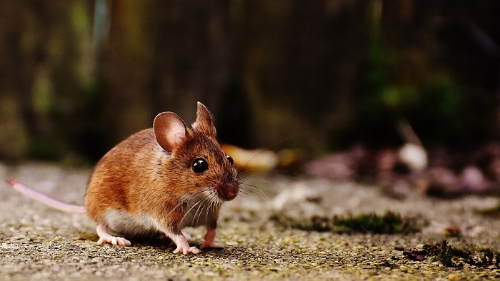 Mouse Mice Spirit Animal Totem Symbolism And Meaning