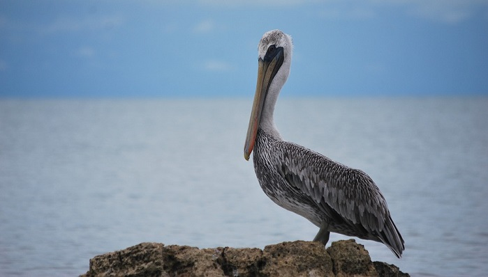 Pelican Spirit Animal Totem Symbolism And Meaning