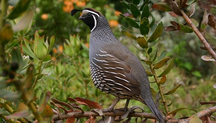 Quail Spirit Animal Totem Symbolism And Meaning