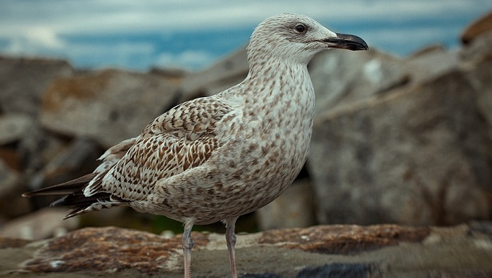 Seagull – Spirit Animal, Totem, Symbolism and Meaning