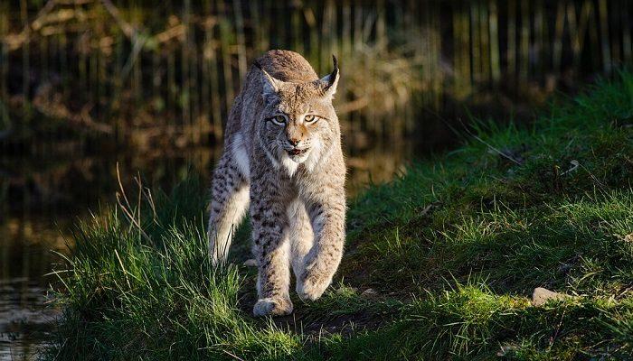 Bobcat Spirit Animal Totem Symbolism And Meaning