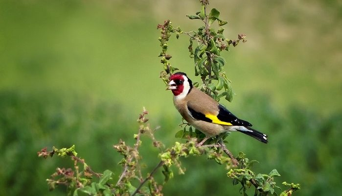 Goldfinch Spirit Animal Totem Symbolism And Meaning