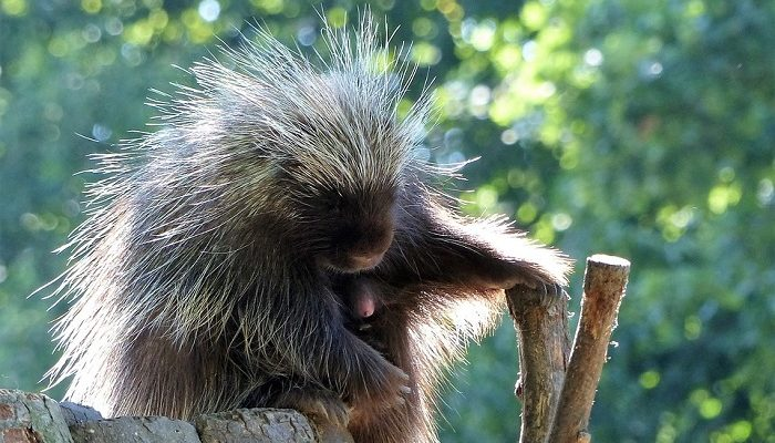 Image result for porcupine and other animals