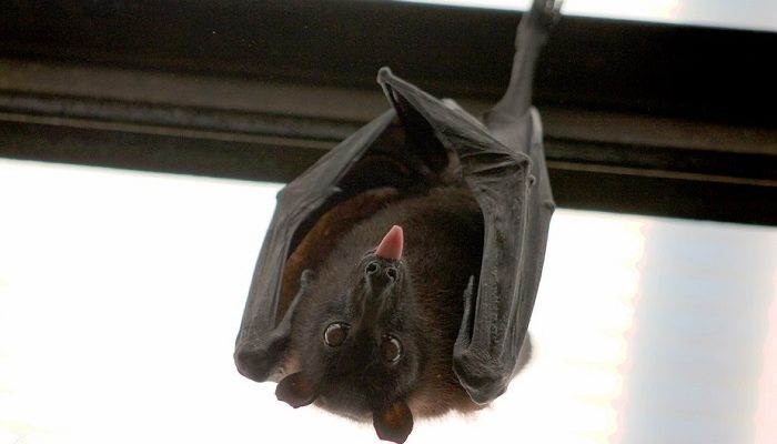 Seeing Bat In House Meaning And Symbolism