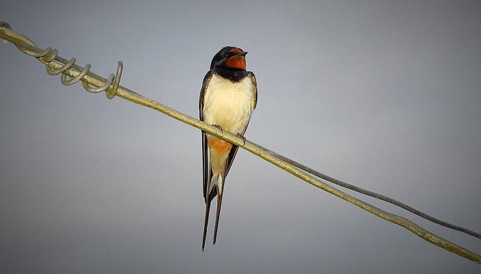 Swallow Bird – Spiritual Meaning, Spirit Animal, Totem and
