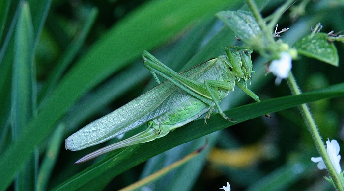 Are Grasshoppers Good Luck?