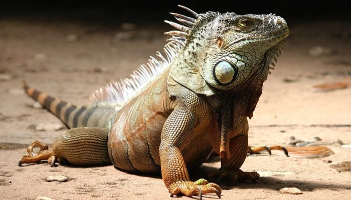 Dreams About Iguanas – Meaning and Symbolism