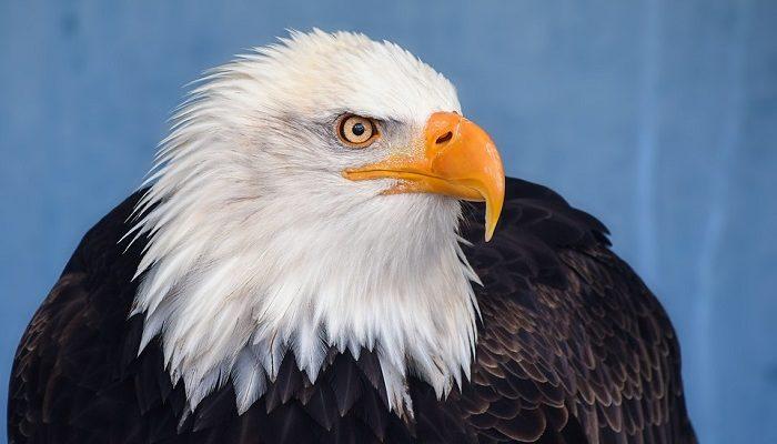 Spiritual Meaning of Bald Eagle