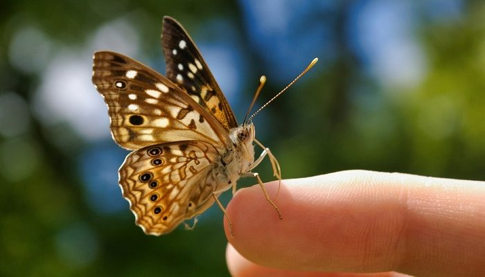 Brown Butterfly – Meaning and Symbolism