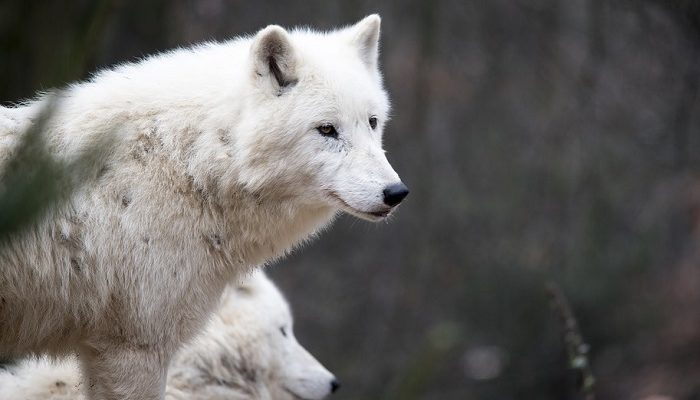 White Wolf in Dream – Meaning and Symbolism